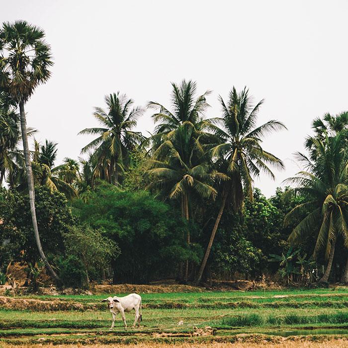 Reisfelder, Siem Reap, Kambodscha