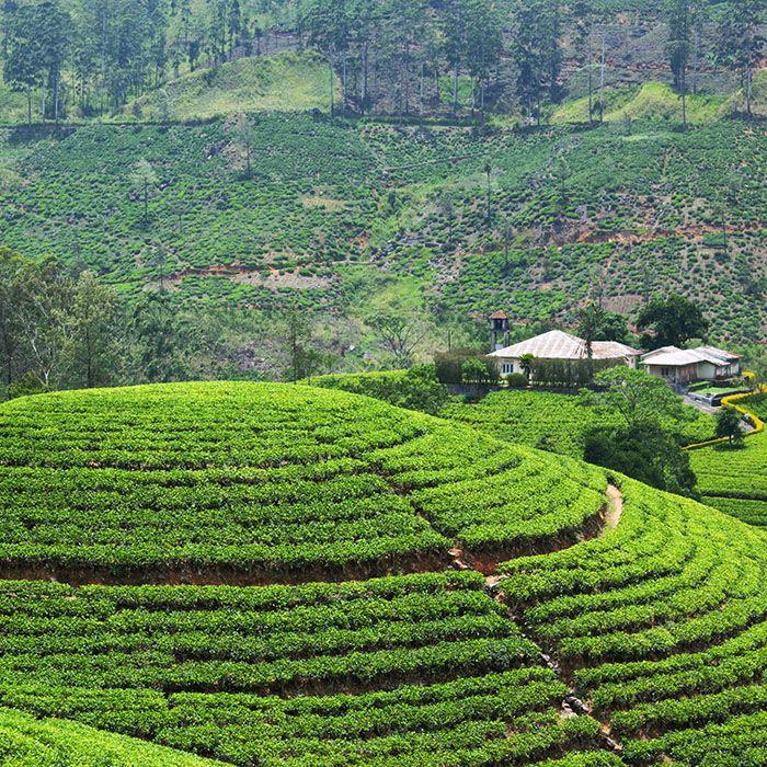 Sri Lanka, Bambarakanda, Teeplantagen