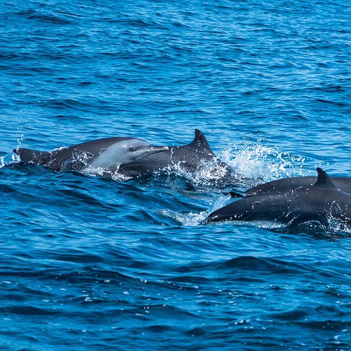Dolphins watching, Kalpitiya, Sri Lanka