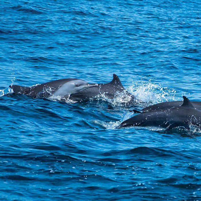 Dolphin watching, Kalpitiya, Sri Lanka