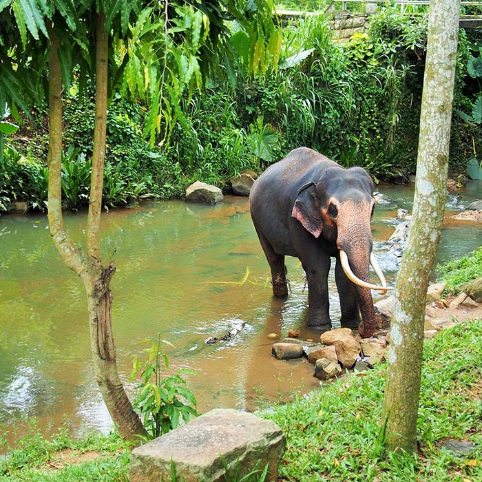 Elefantenwaisenhaus, Sri Lanka