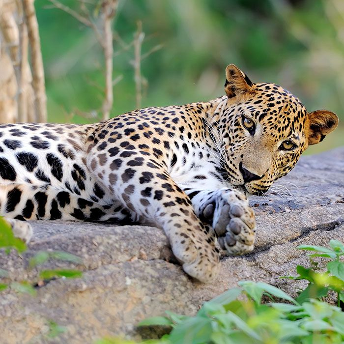 Yala, Nationalpark, Leopard, Sri Lanka