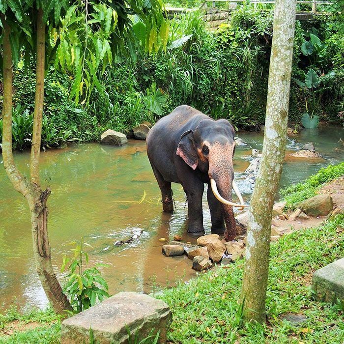 Sri Lanka, Elefanten, Elenfantenwaisenhaus, Millenium Elephant Foundation
