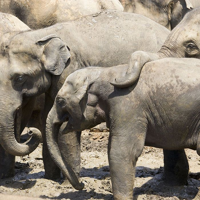 Sri Lanka, Minneriya, Elefanten, Nationalpark
