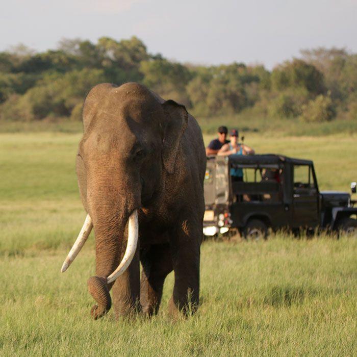 Safari, Minneriya, Sri Lanka