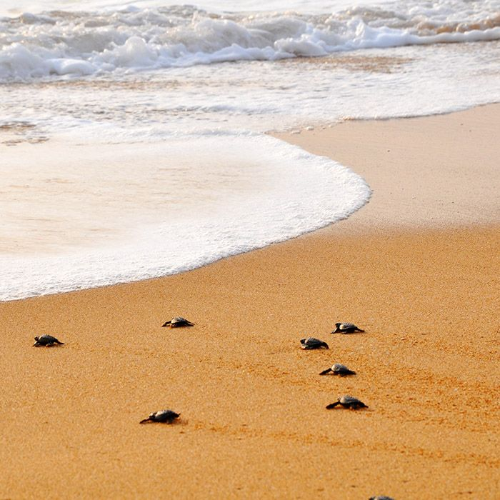 Schildkröten am Strand, Sri Lanka
