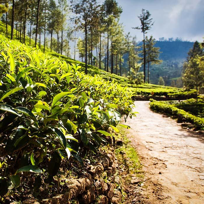 Teeplantagenwanderung, Haputale, Sri Lanka