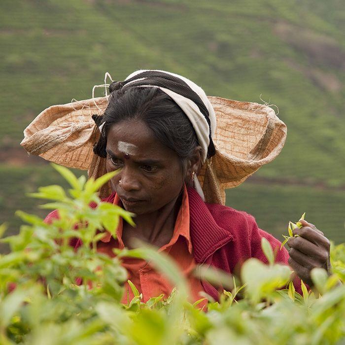Tea plucker, Ella, Sri Lanka