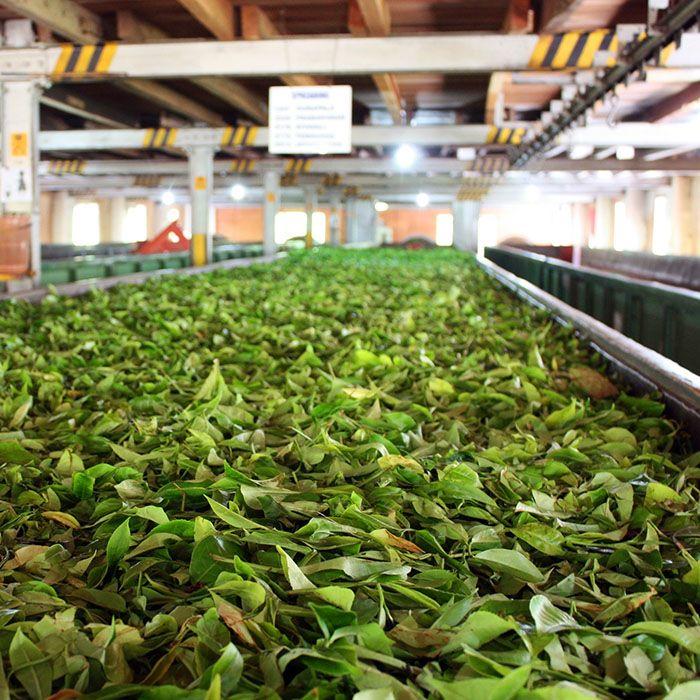 Teefabrik, Sri Lanka