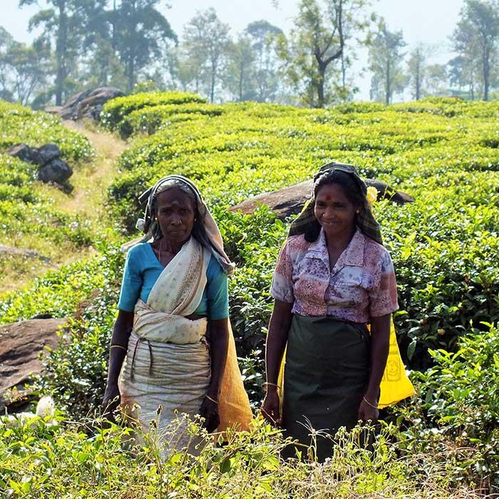Teepflücker, Madulkelle, Sri Lanka