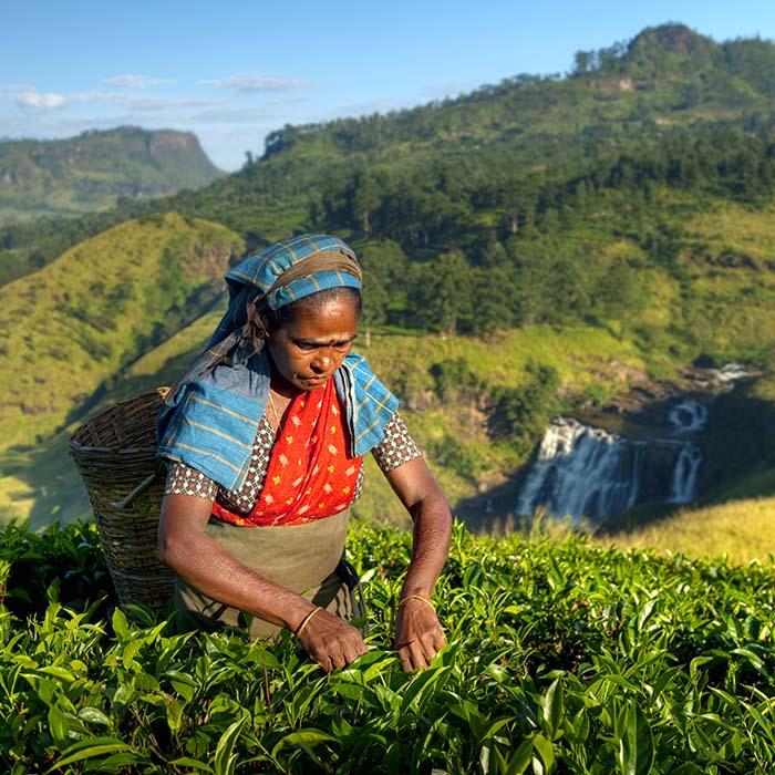 Teeplantagen, Teepflückerin, Berge