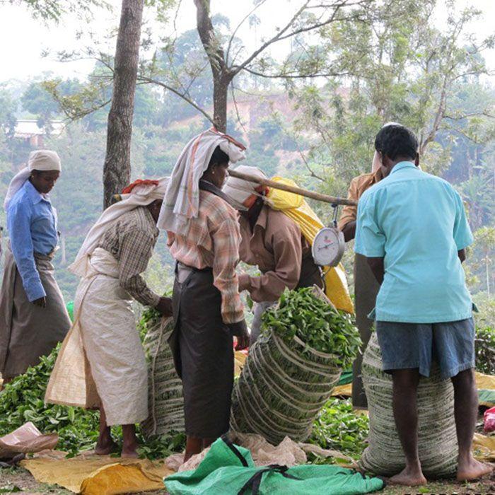 Sri Lanka, Teeplantagen, Wanderung