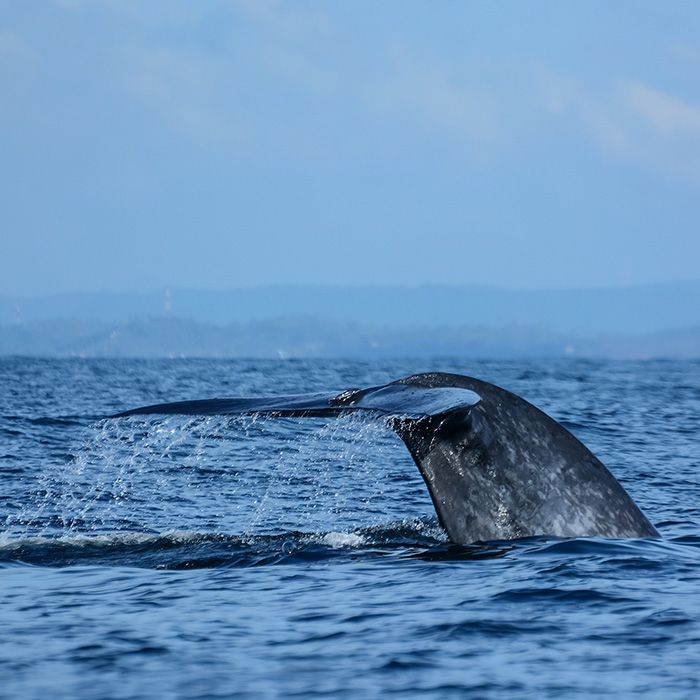 Whale watching, Mirissa, Sri Lanka