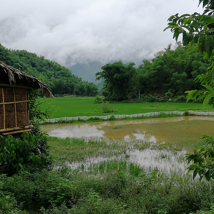 Vietnam, Mai Chau, Reisfeld