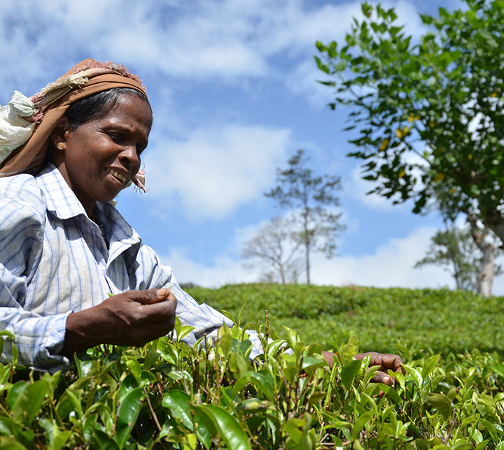 Teeplantagen & Elefanten Tagesausflug