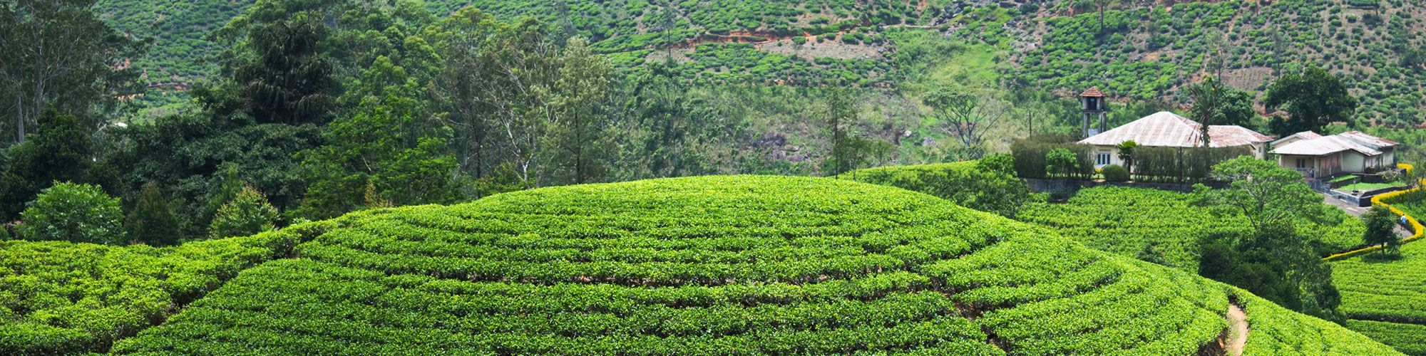 Sri Lanka, Teeplantagen, Teefabrik