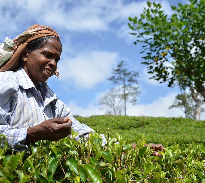 Sri Lanka, Teeplantagen, Tee, Teepflücker