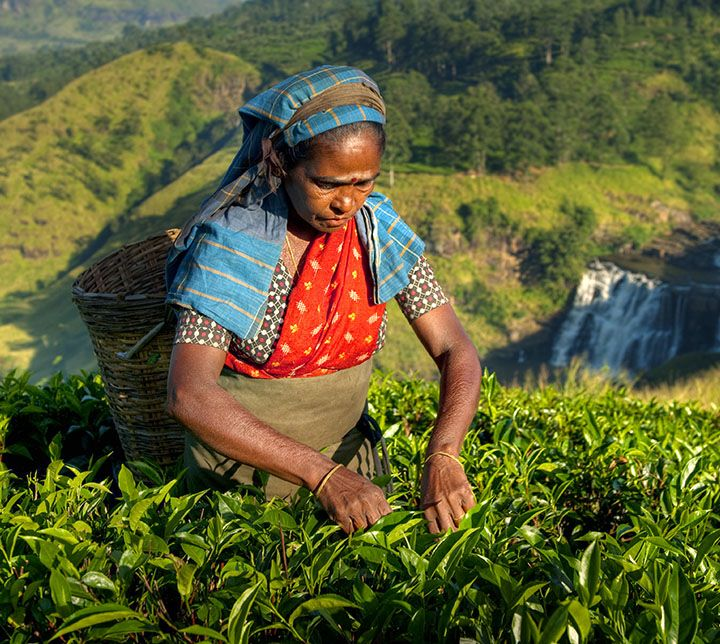 Teepfluecker, sri lanka, teeplantagen