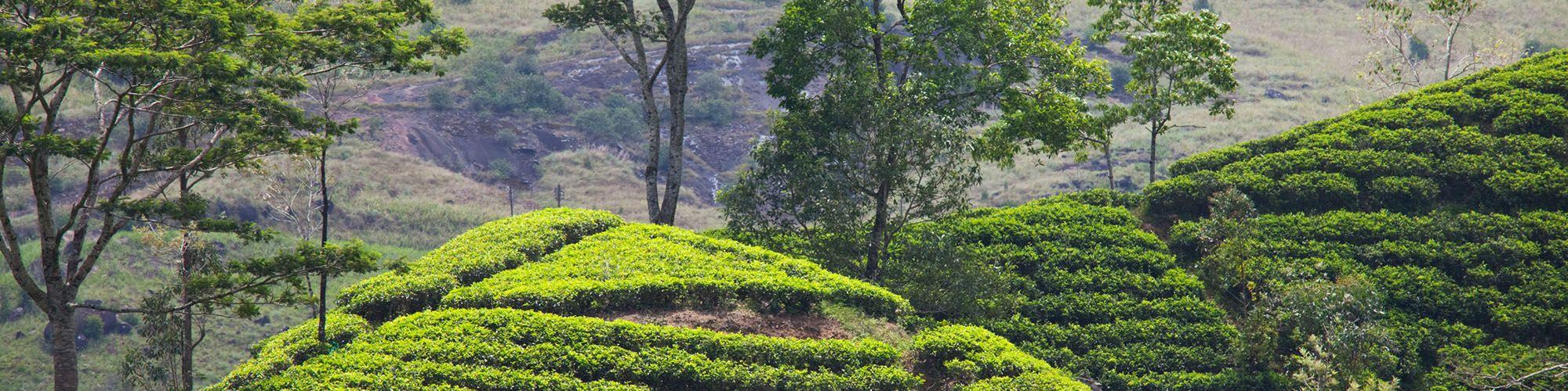 Sri Lanka, Teeplantagen, Aussicht