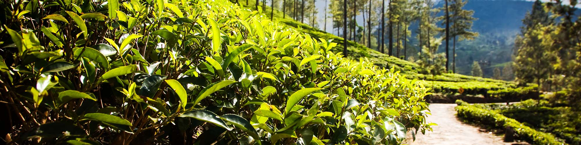 Teeplantagen Wanderung, Haputale, Sri Lanka