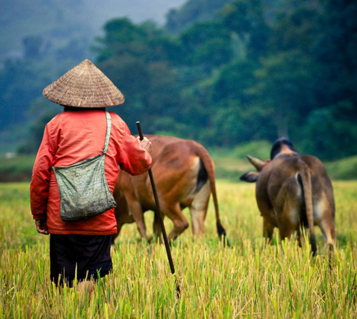 Bauer, Kühe, Vietnam