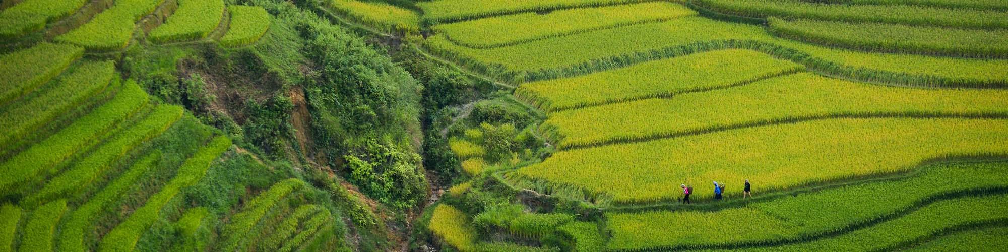 Doan Tuan, Reisfelder, Vietnam