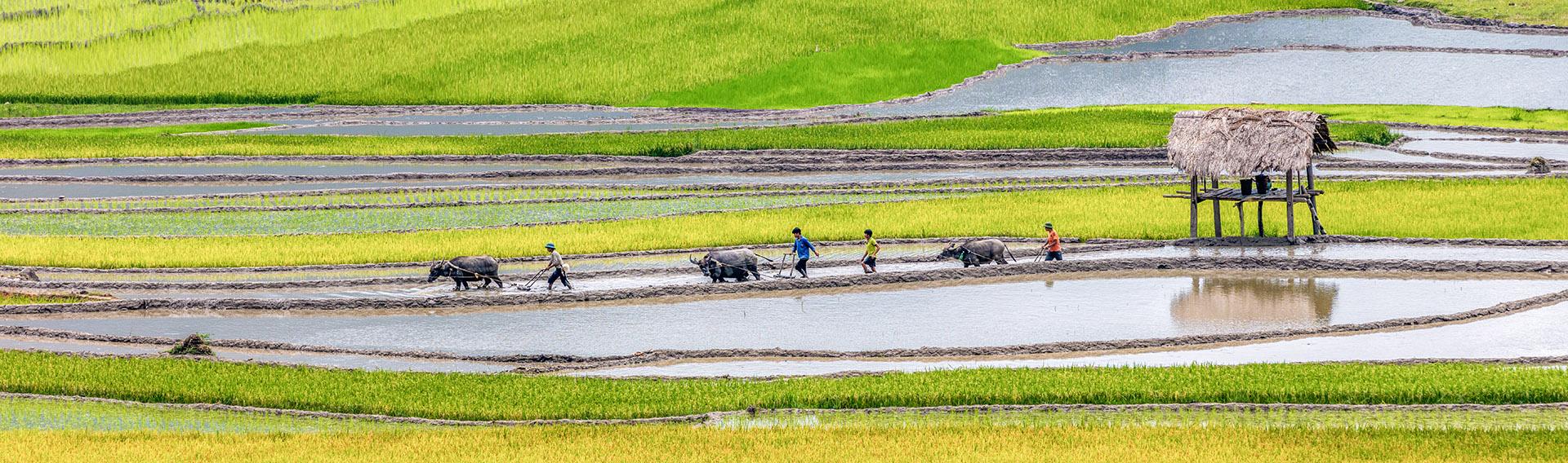 Vietnam, Mai Chau, Reisfeld, Wasserbüffel
